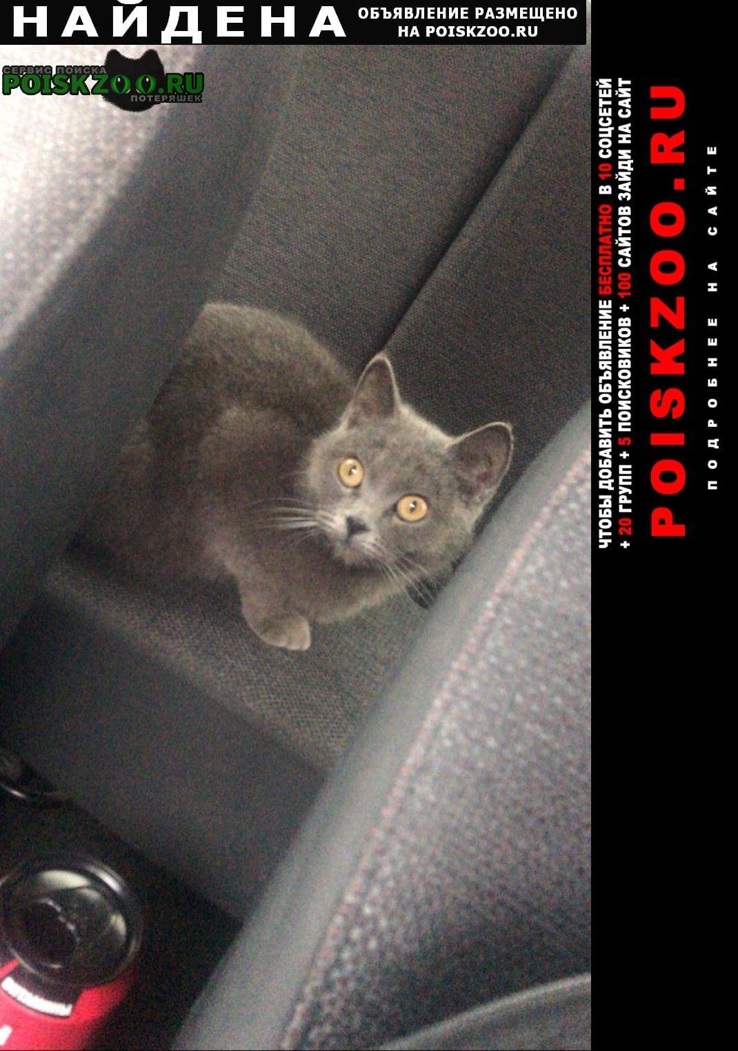 Найдена кошка британка ухоженная молоденькая Новочеркасск