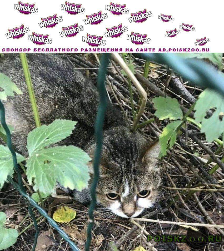 Найдена кошка мамонтовка, со стороны кудринки г.Пушкино