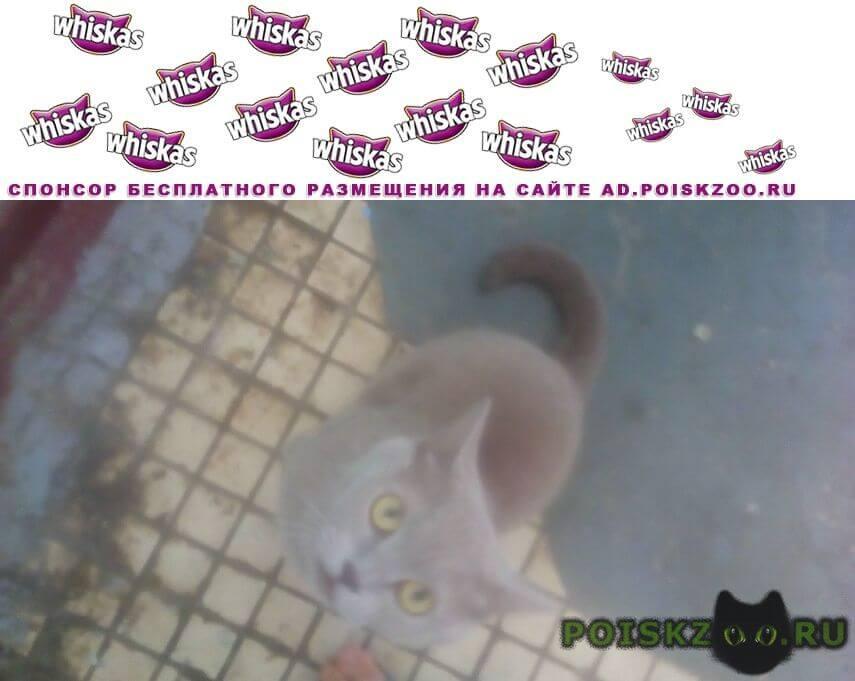 Найдена кошка, серый цвет, домашняя, боится улицы Волгодонск
