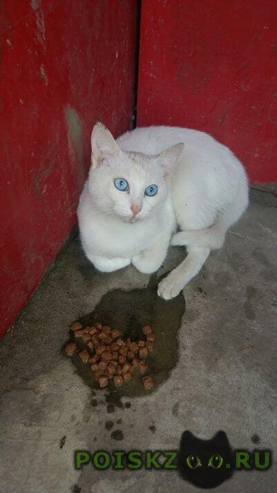 Найдена кошка ивантеевка. белая кошечка. г.Ивантеевка (Московская обл.)