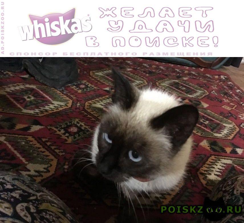 Найдена кошка сиамская в ошейнике г.Кострома