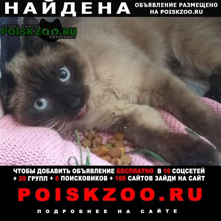 Найдена кошка сиамская порода Тольятти
