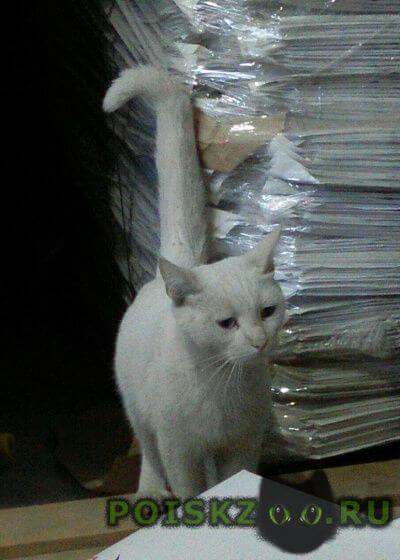 Найдена кошка белая альбинос г.Ивантеевка (Московская обл.)