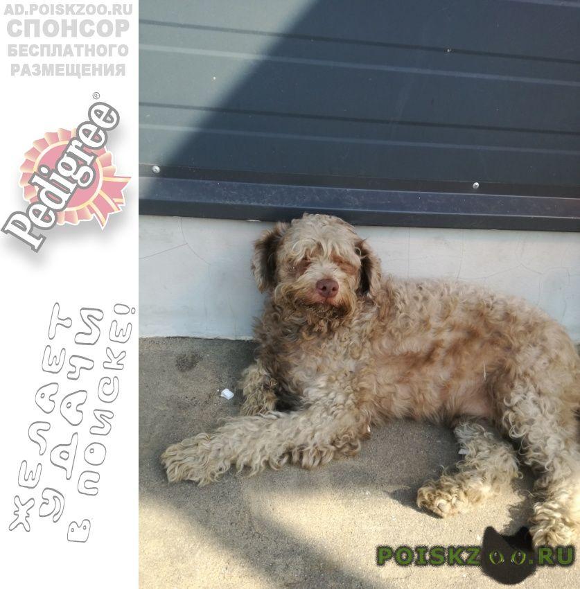 Найдена собака кобель молодой спаниель г.Раменское