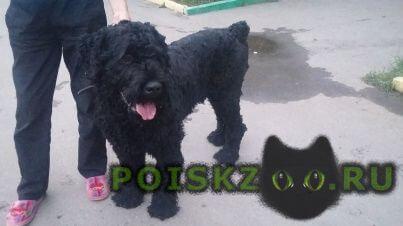 Найдена собака кобель русский терьер г.Подольск