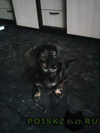 Найдена собака кобель ласковый, игривый таксик г.Магнитогорск