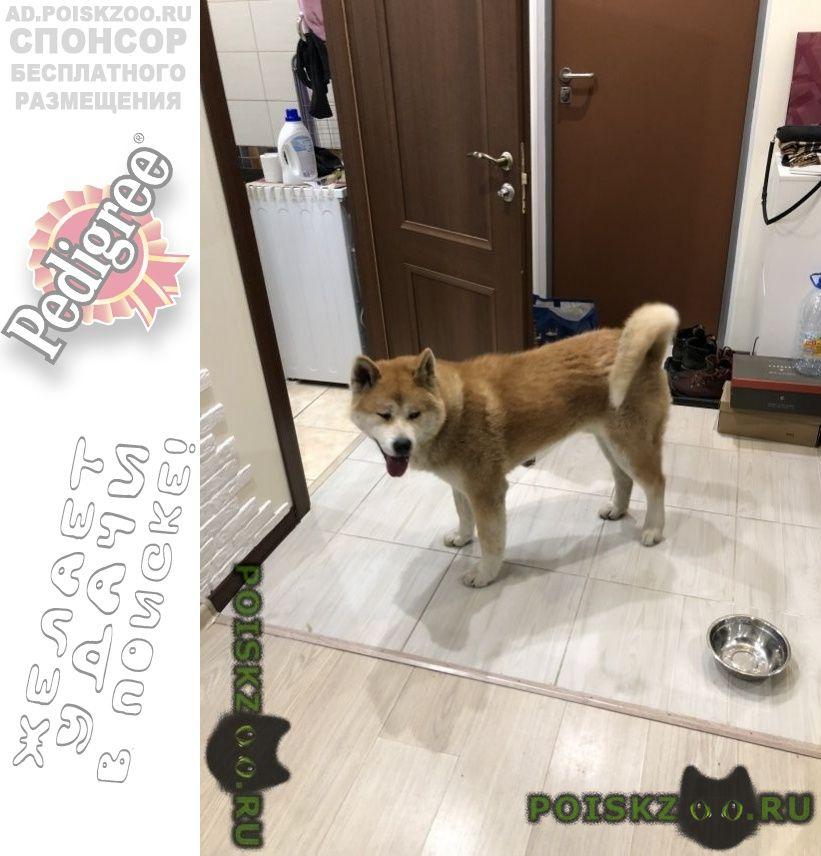 Найдена собака кобель молодой акита г.Москва