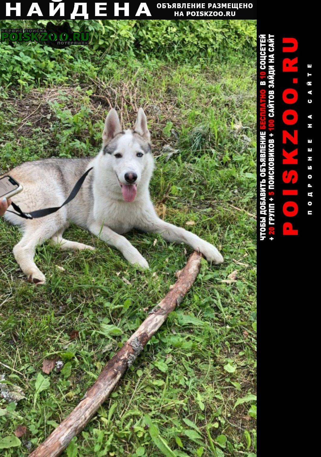 Найдена собака кобель помесь хаски и лайки Солнечногорск