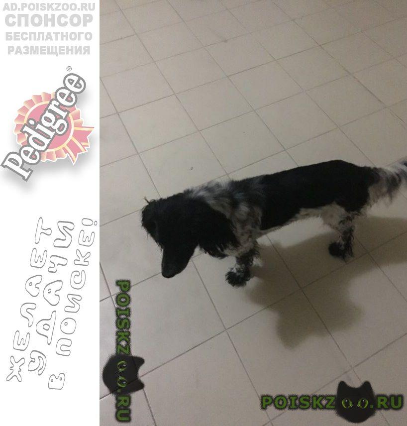 Найдена собака кобель переулок восточный г.Геленджик