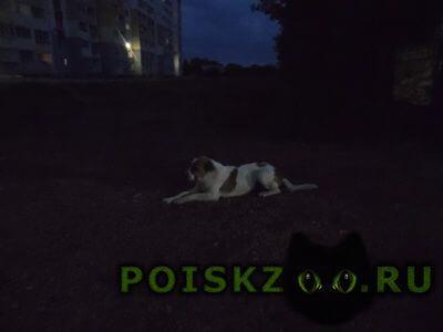 Найдена собака видимо, сука. очень дружелюбна к людям г.Копейск