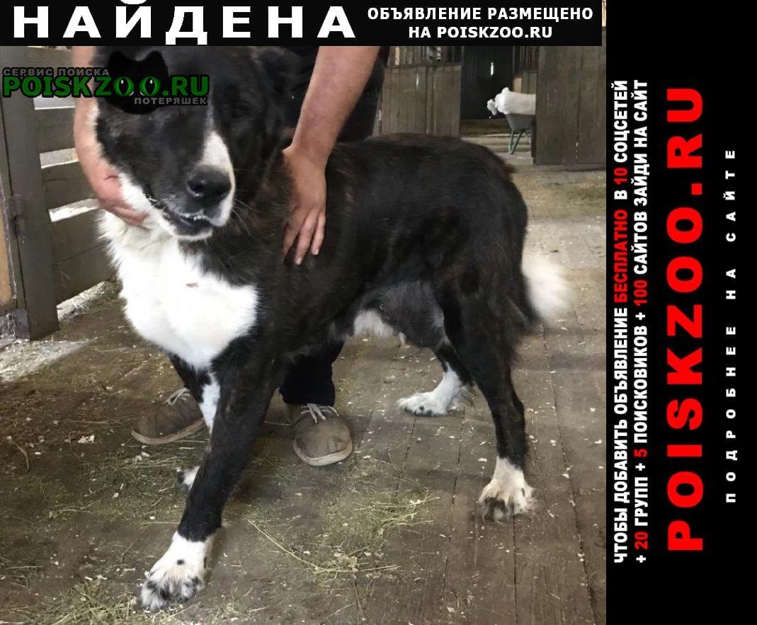 Найдена собака вероятно метис алабая Мытищи