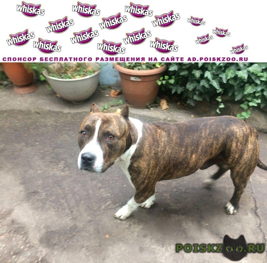 Найдена собака кобель стаффордширсктий терьер г.Мариуполь