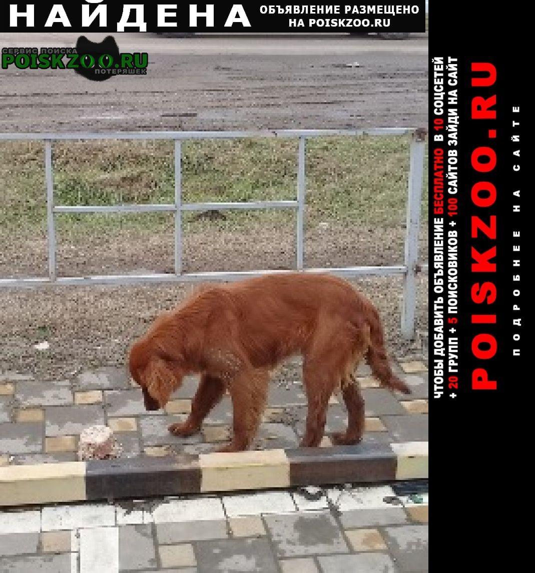 Найдена собака породы ирландский сеттер Усть-Лабинск