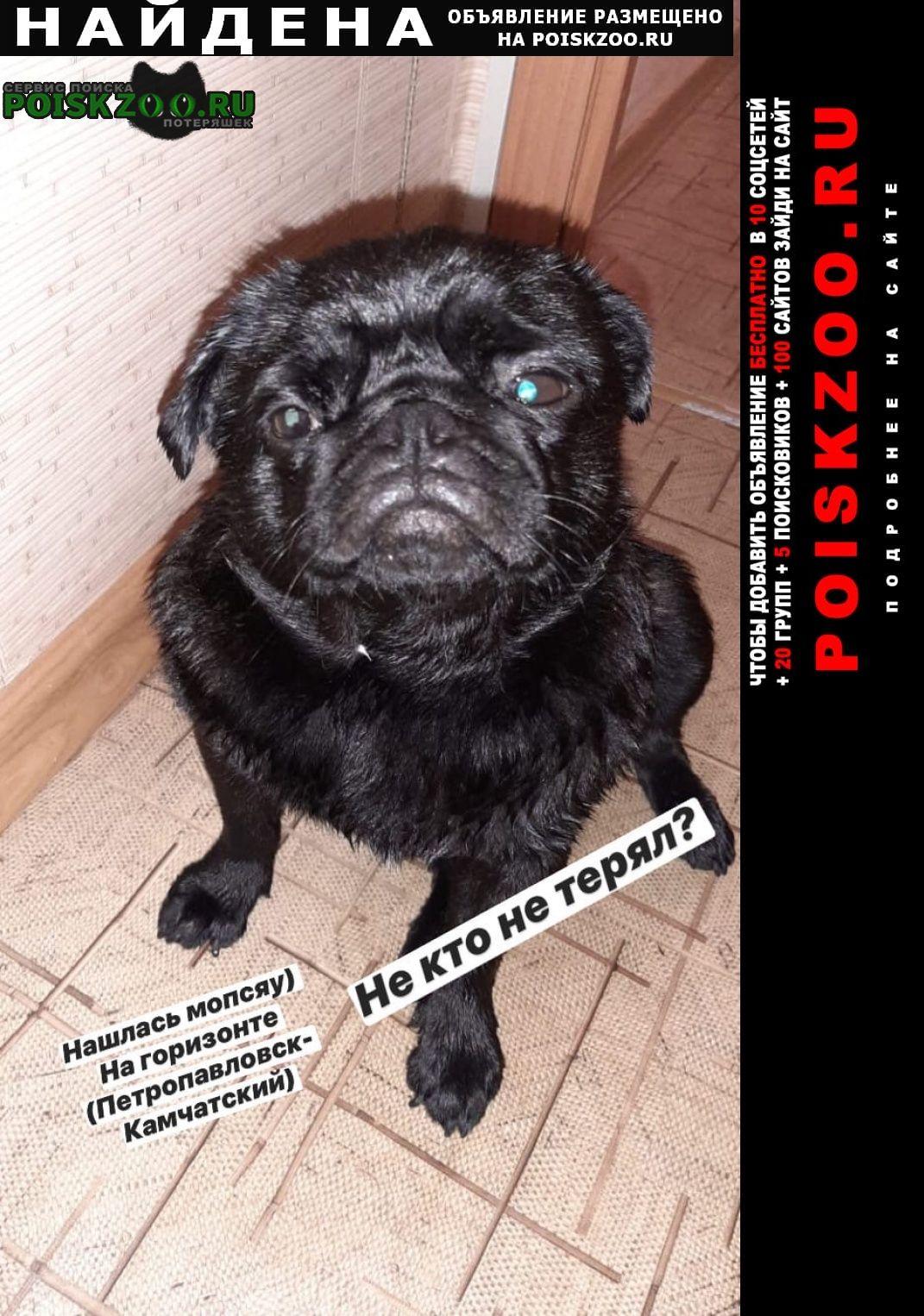 Найдена собака мопс г.Петропавловск-Камчатский