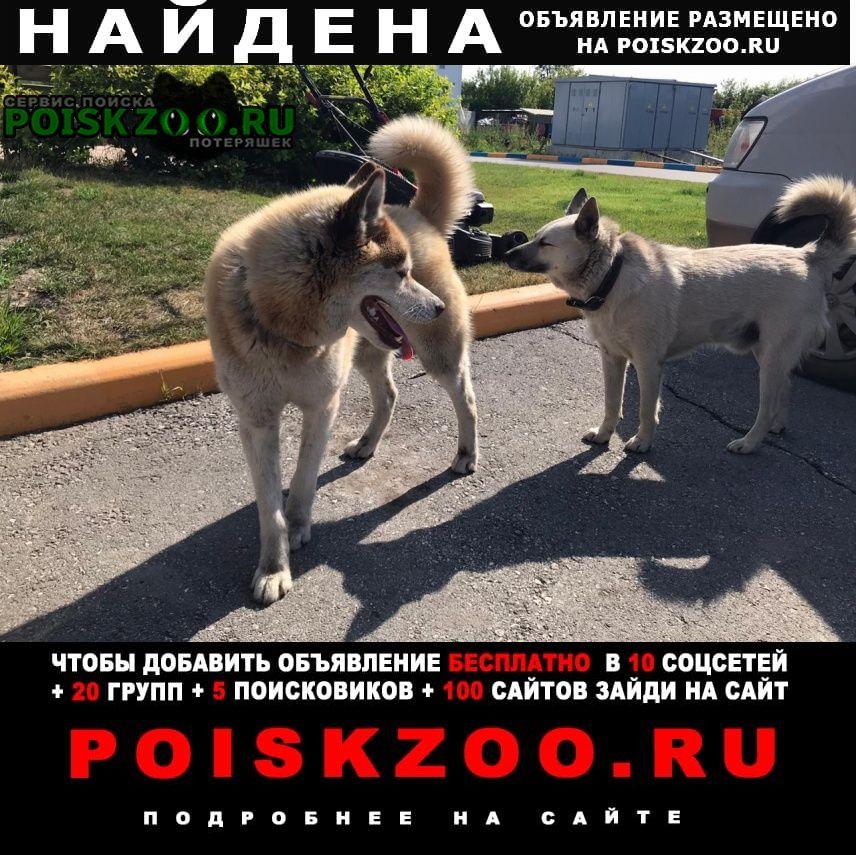 Найдена собака кобель хаски. ул. большая 254 1 Новосибирск
