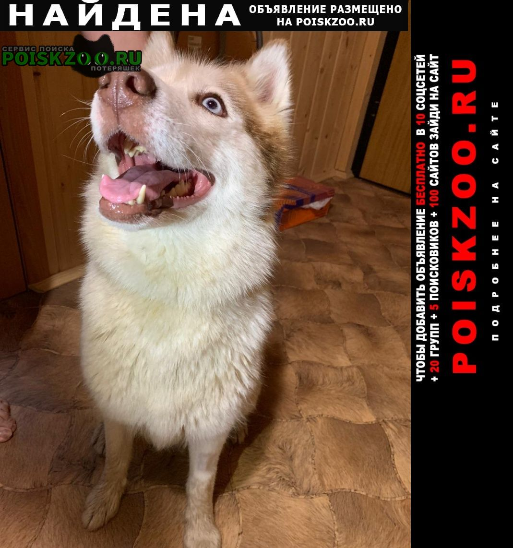Найдена собака в мкр.семхоз мо хаски-девочка Сергиев Посад