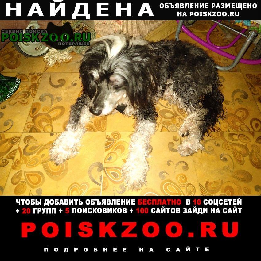 Найдена собака кобель китайская хохлатая пуховка (мальчик) Москва