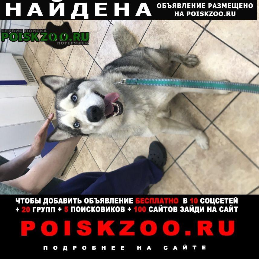 Найдена собака новокосино. реутов. хаски (сука) Москва