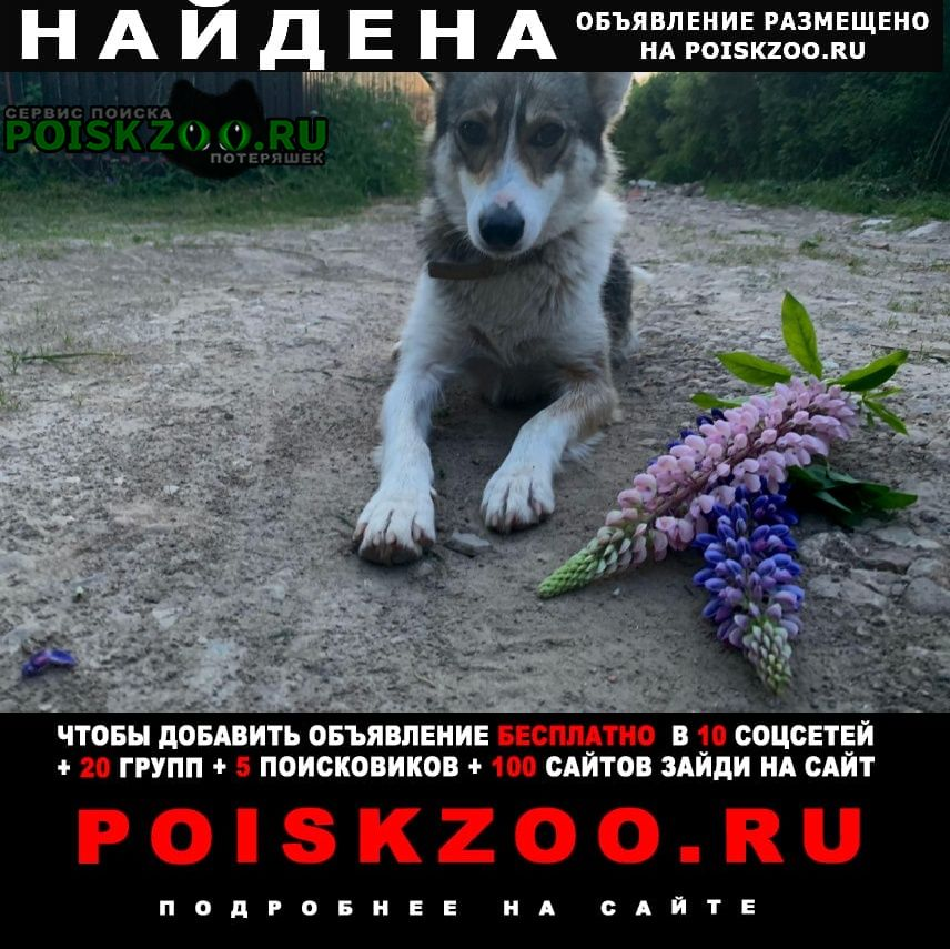 Найдена собака похожа на лайку, девочка Сергиев Посад