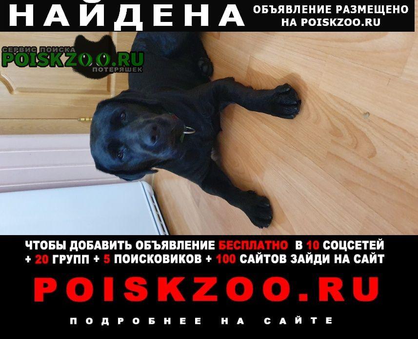 Найдена собака девочка лабрадор Чехов