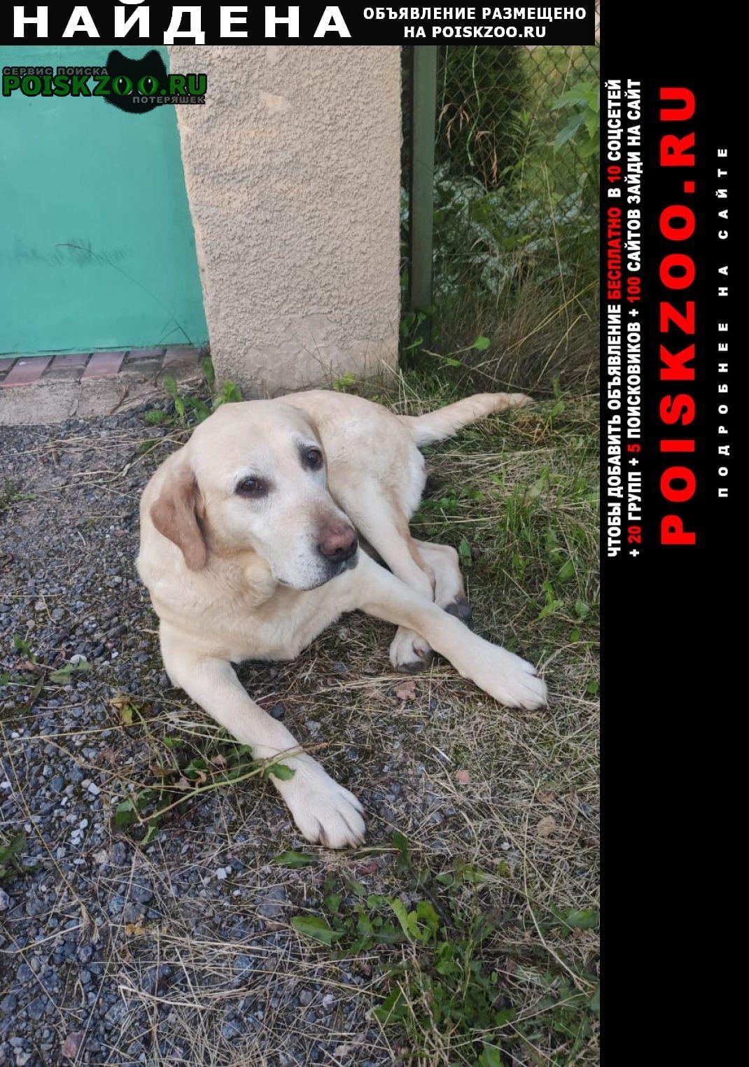 Найдена собака белый лабрадор, сука Истра