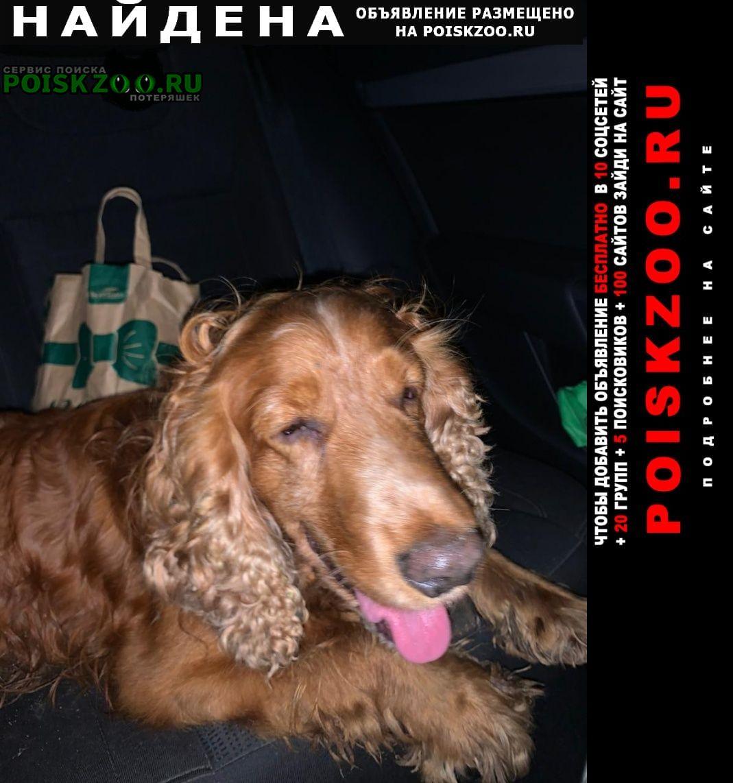 Найдена собака спаниель Раменское