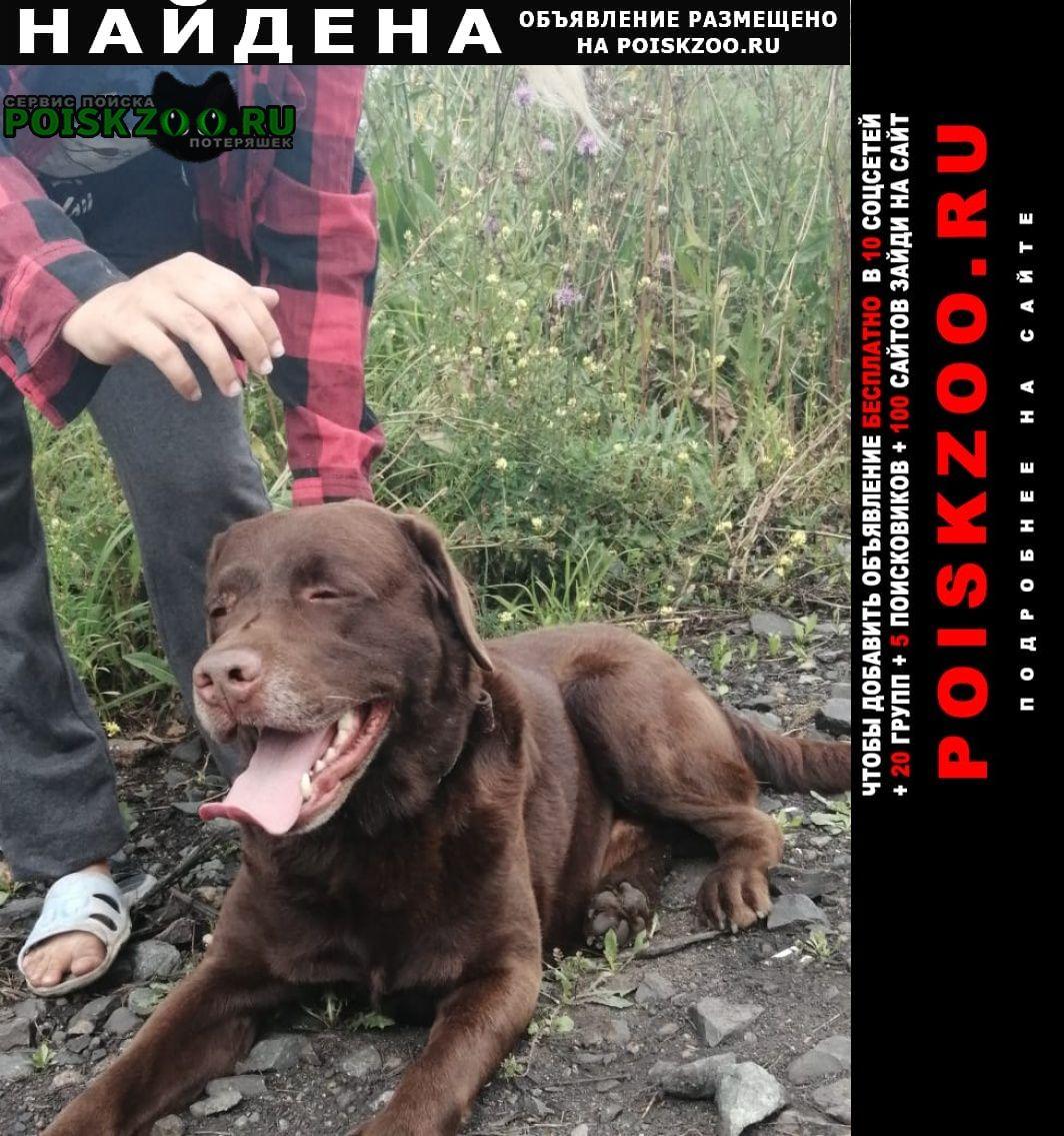 Найдена собака лабрадор Новосибирск