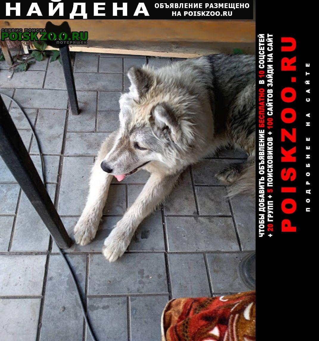 Найдена собака сибирской хаски, светло-серого окраса Омск
