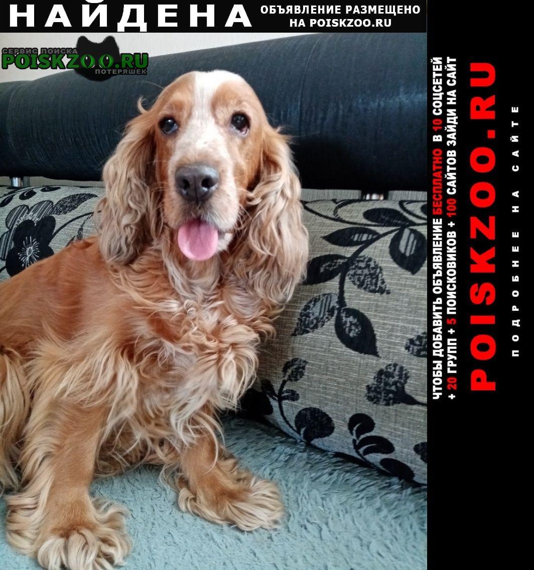 Найдена собака спаниель рыже-белый Ульяновск