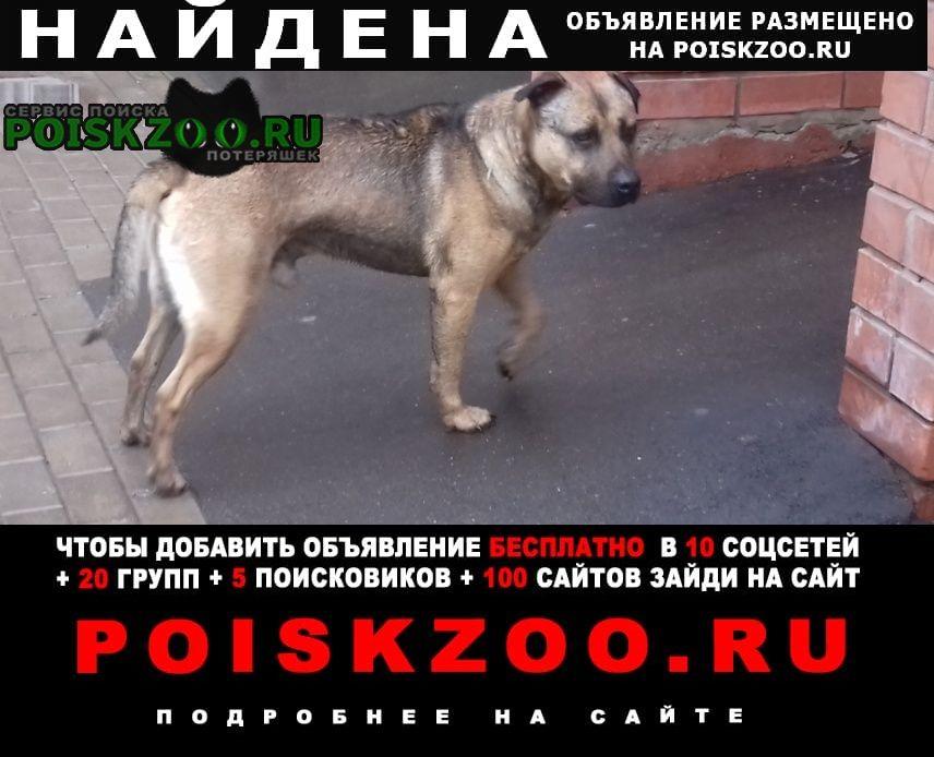 Найдена собака бойцовской породы Балашиха