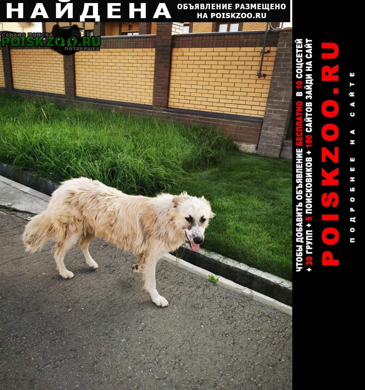 Найдена собака белая пушистая Домодедово