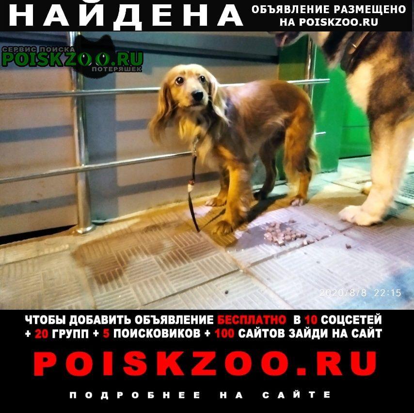 Найдена собака спаниель Чехов