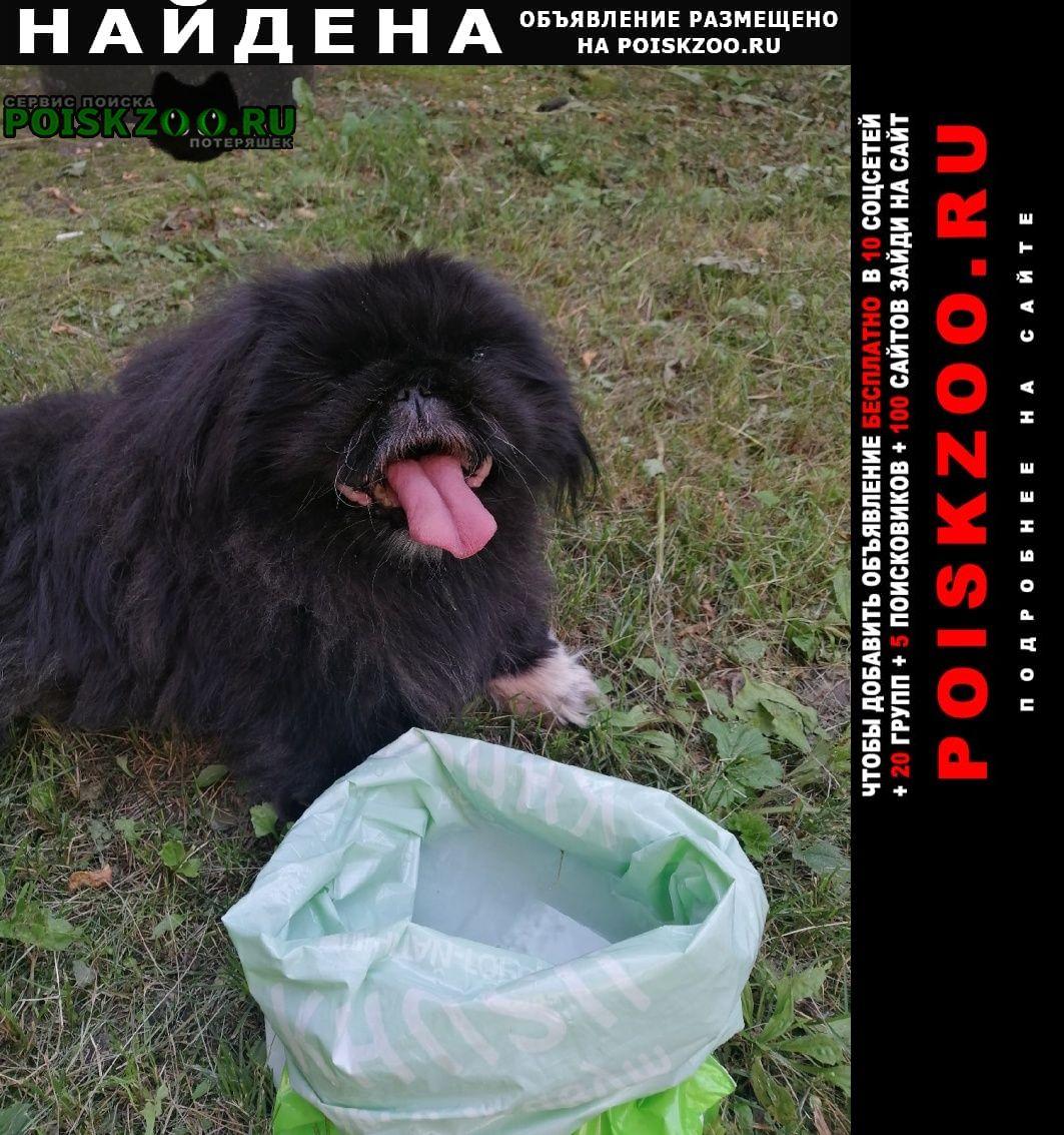 Найдена собака пекинес в районе улицы советская. Красноярск