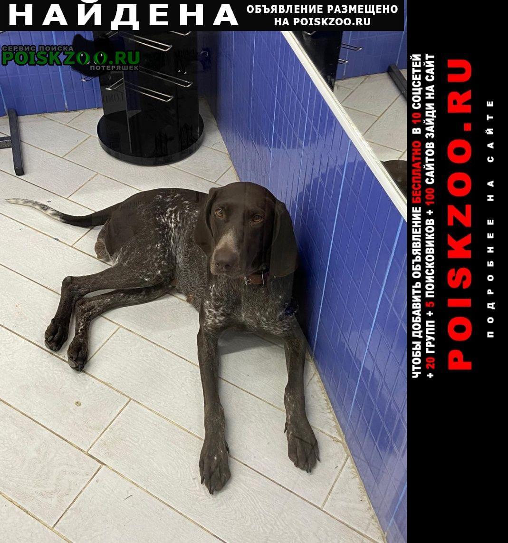 Найдена собака курцхаар, сука Москва