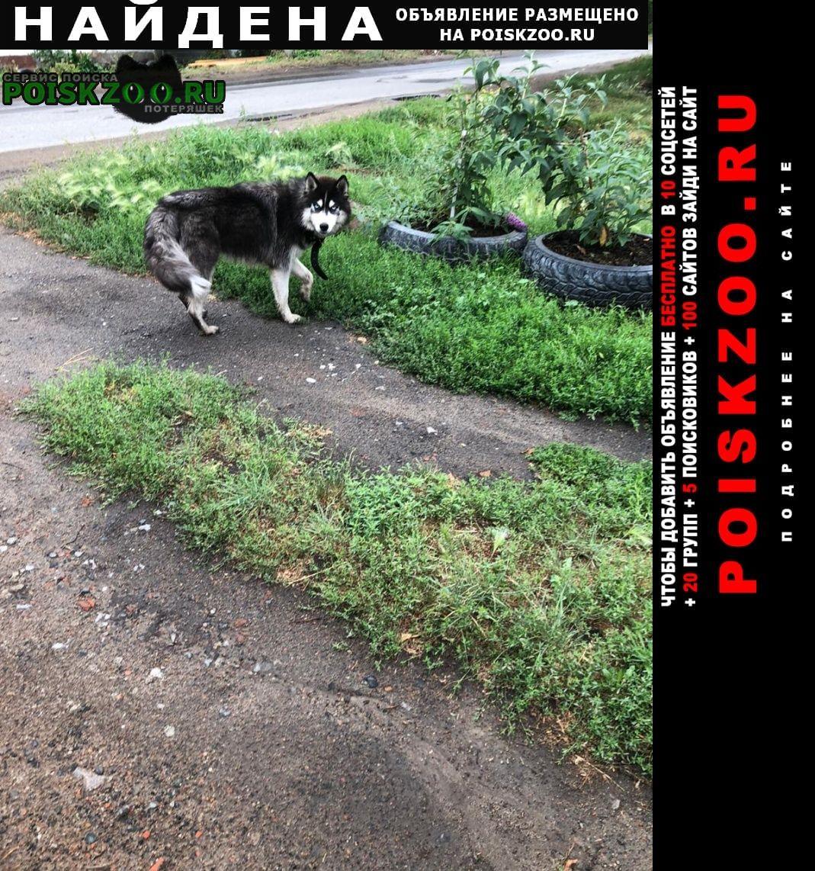 Найдена собака хаски Омск