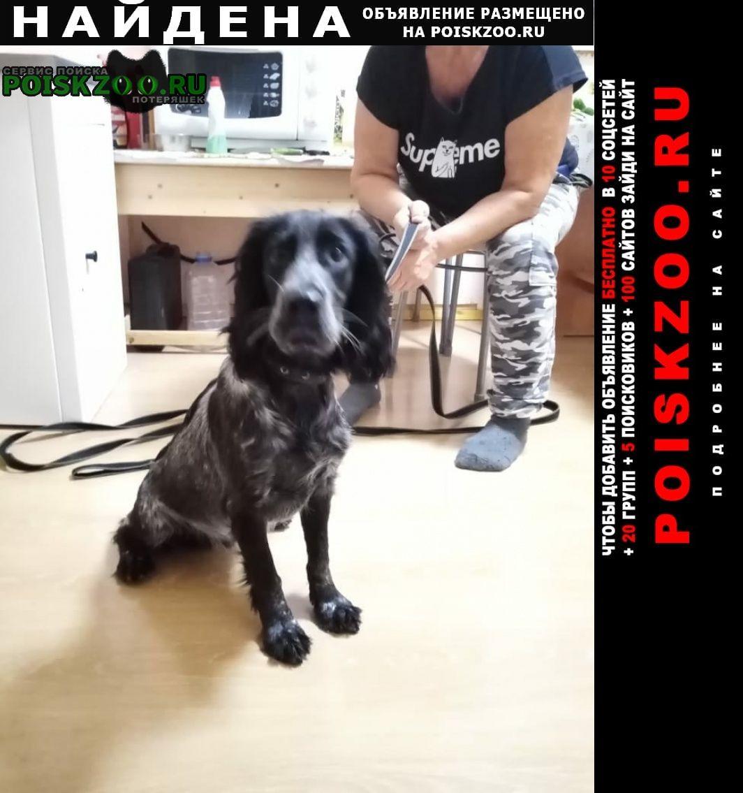 Найдена собака спаниель черно-пегий Серпухов