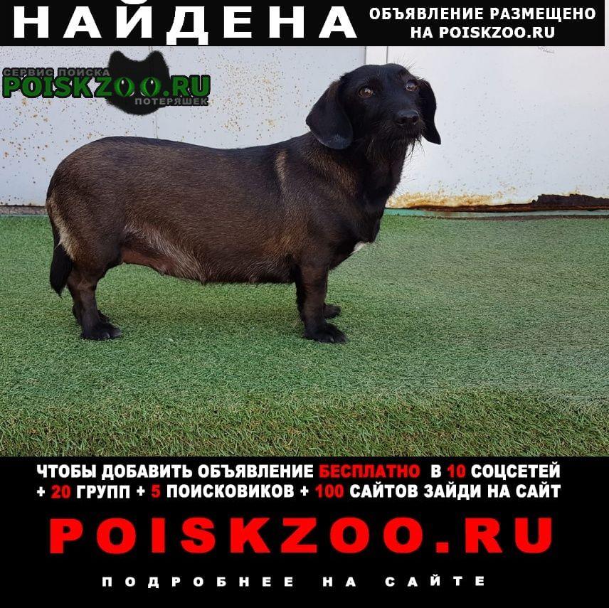 Найдена собака такса метис таксы Москва