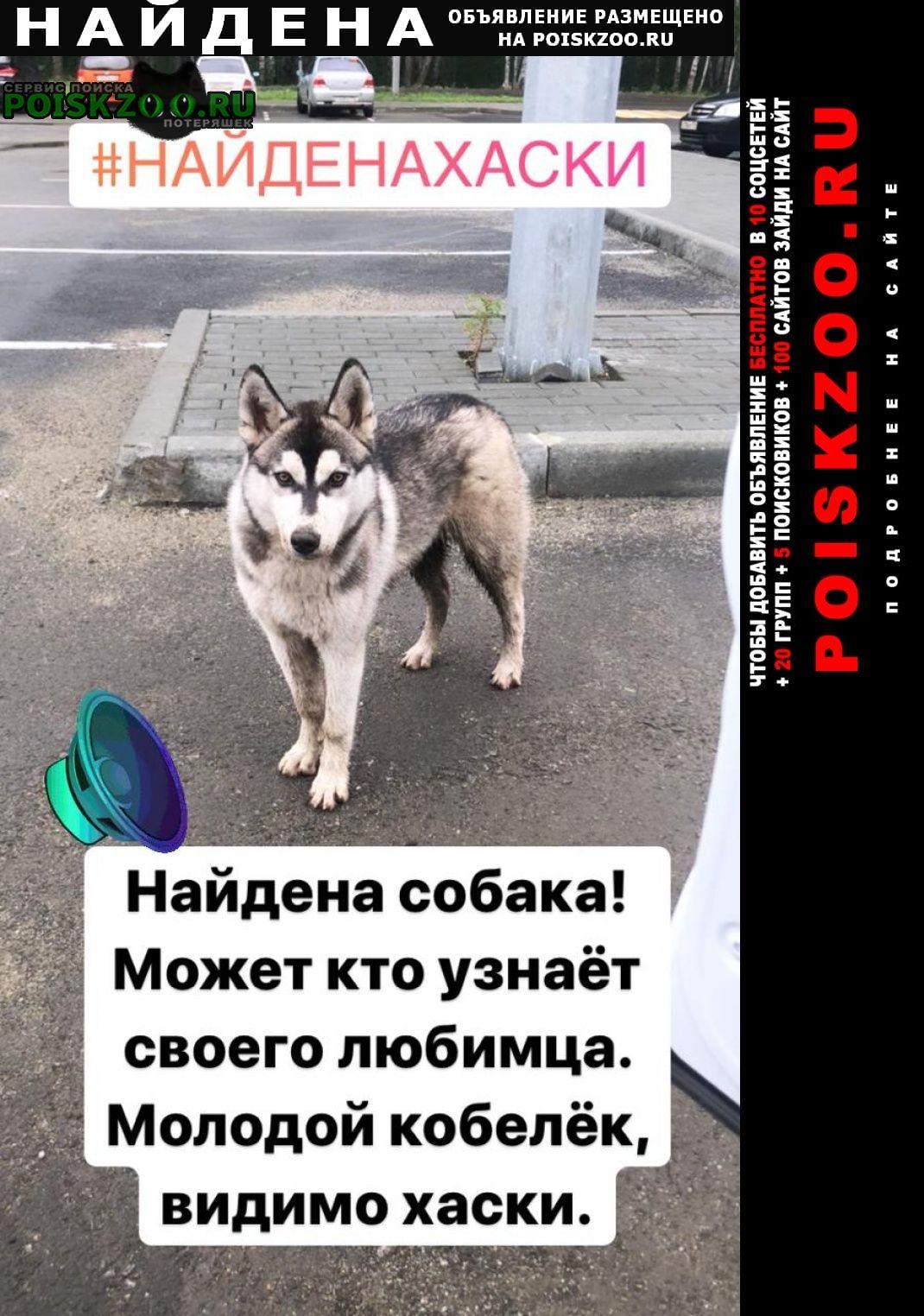 Найдена собака кобель хаски молодой Челябинск