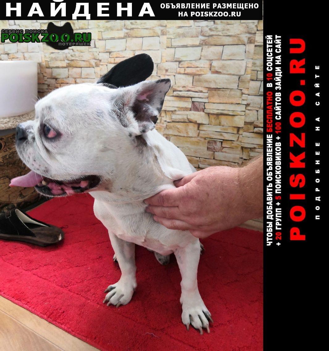 Найдена собака французский бульдог Тольятти