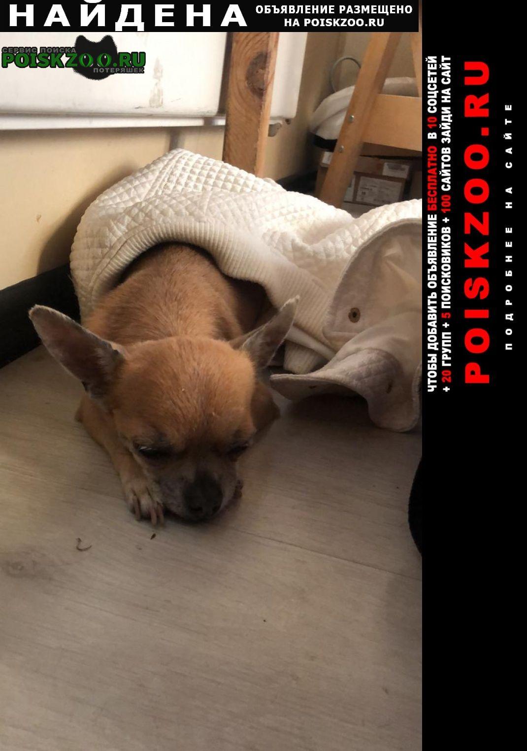 Найдена собака чихуахуа Москва