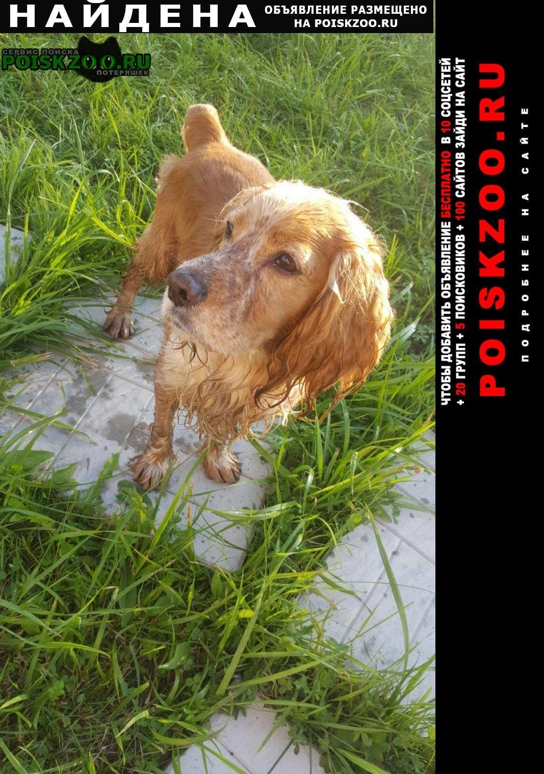 Найдена собака спаниель рыжий талдомский район Дмитров