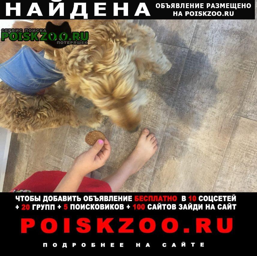 Найдена собака коккер спаниель Белгород