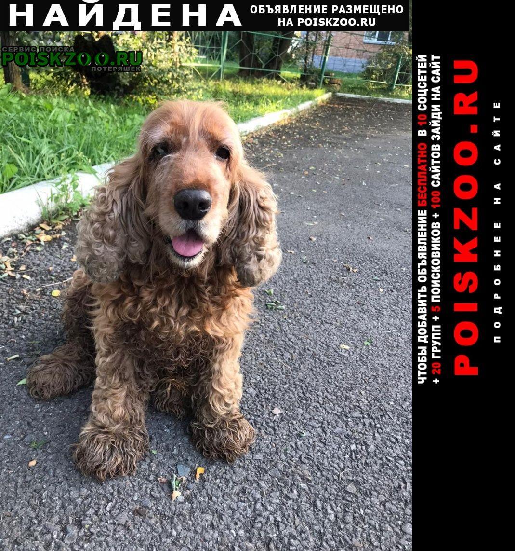 Найдена собака кокер спаниэль Владивосток