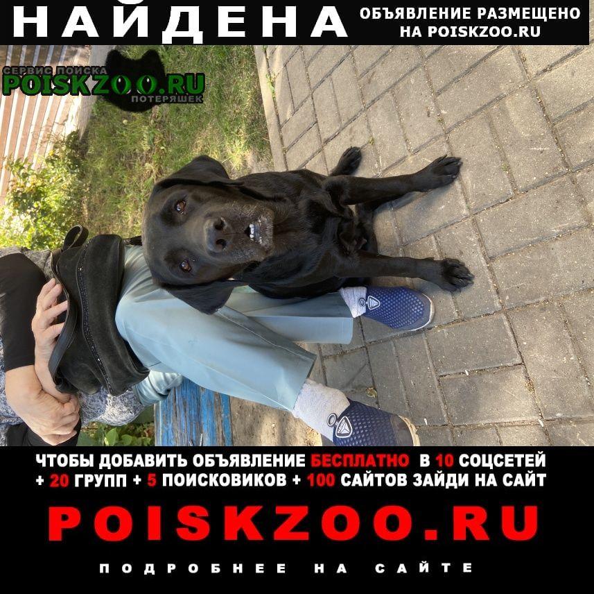 Найдена собака породы лабрадор Белгород