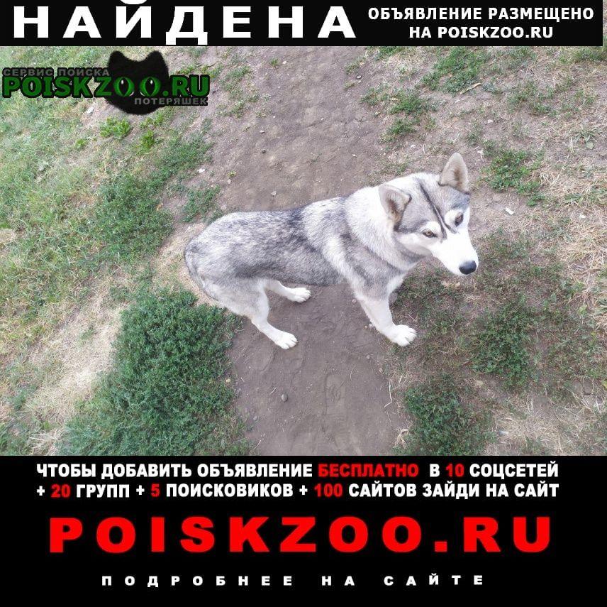 Найдена собака самка хаски Краснодар