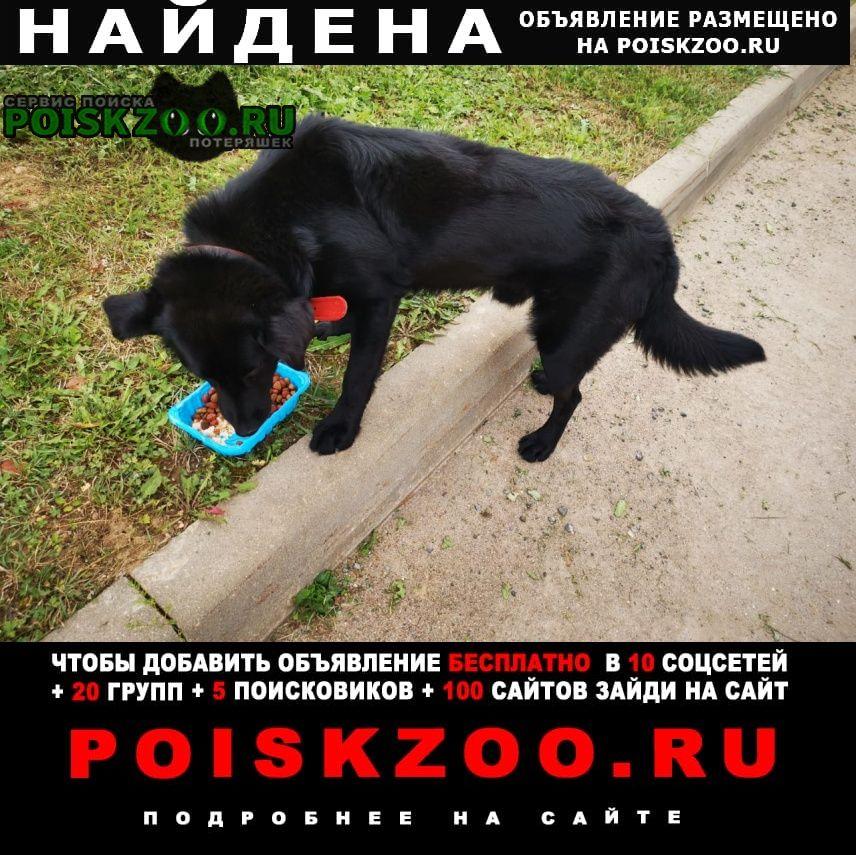 Найдена собака чёрный лабрадор мальчик Истра