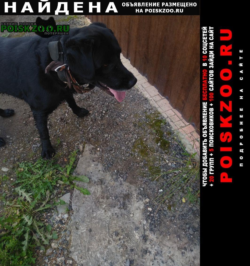 Найдена собака порода лабрадор Обнинск