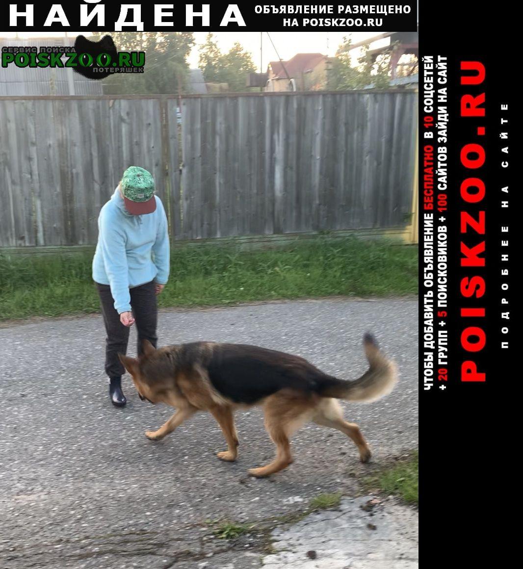 Найдена собака овчарка Сургут