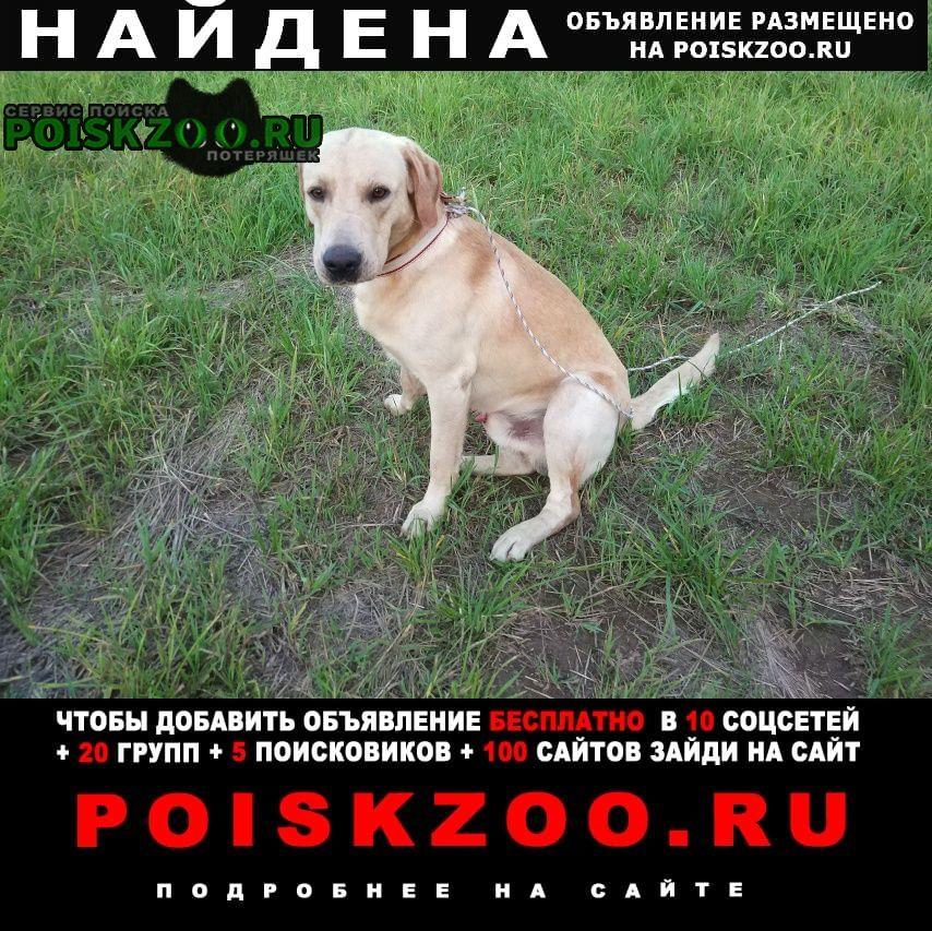 Найдена собака метис лабрадора в дер. агафоново Кубинка