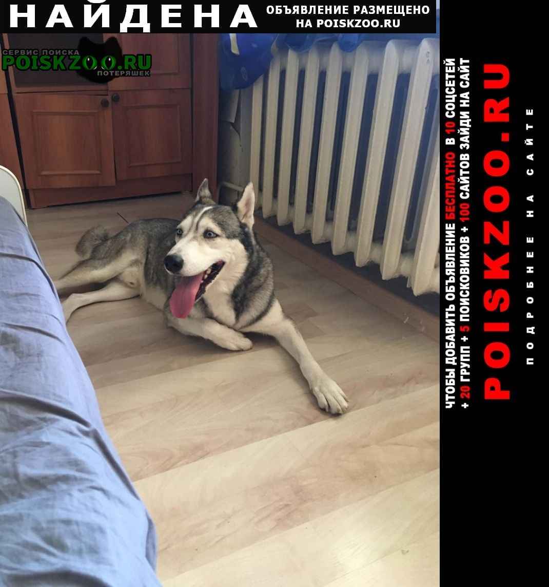 Найдена собака кобель хаски Пятигорск